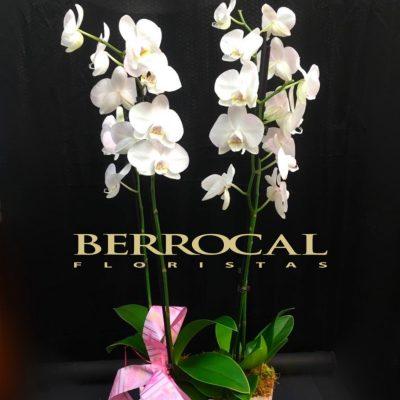 2 Plantas de Orquídea Phalaenopsis blancas, en base de cerámica.