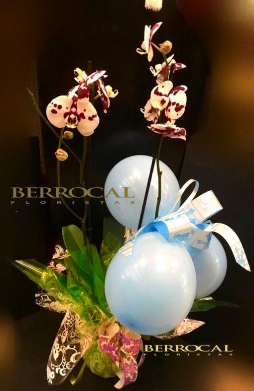 Planta de Orquídea Phalaenopsis bicolor. En cerámica. Con globos nacimiento bebé.