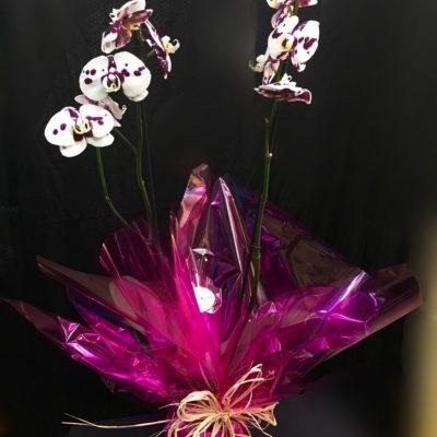 Planta de Orquídea Phalaenopsis Bucolor. En base de cerámica.