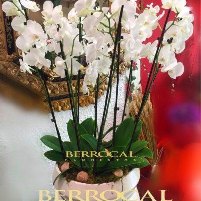 Composición con 5 plantas de Orquídeas Phalaenopsis blancas. En una base de cerámica, con musgo, piedras y conchas naturales.