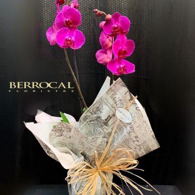 Planta de Orquídea Phalaenopsis fucsia.