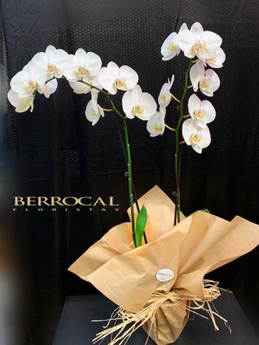 Planta de Orquídea Phalaenopsis blanca.