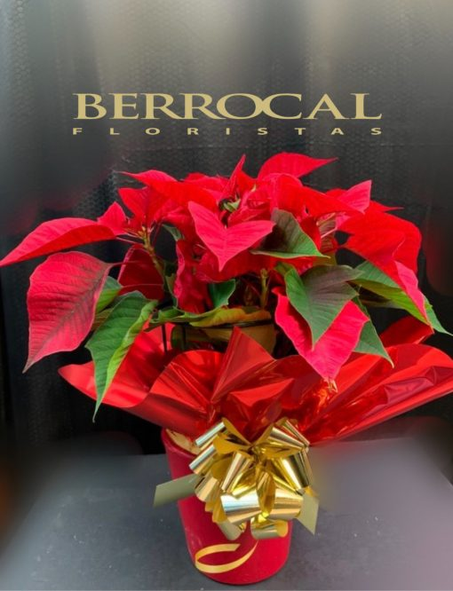 Poinsettia roja en base de cerámica. Presentacion regalo de Navidad,