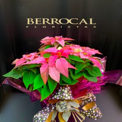 Poinsettias rosadas, en base de cerámica. Presentación regalo Navidad.