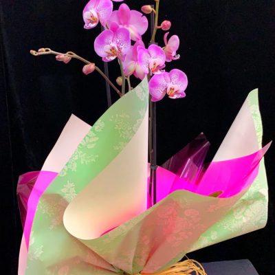 Planta Orquídea Phalaenopsis rosada.